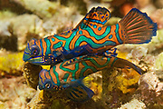 Male and female Mandarinfish come out of hiding at twilight to mate.(Synchirops splendidus).Lembeh Straits, Indonesia