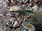 A Galapagos Marine Iguana (Amblyrhynchus cristatus) opens its mouth at Puerto Egas, visited via a wet landing on Santiago (or San Salvador; or James Island), in the Galápagos Islands archipelago, a province of Ecuador, South America. The Marine Iguana is the world's only sea-going lizard and is found only on the Galapagos Islands (spread throughout the archipelago). They feed almost exclusively on marine algae, expelling the excess salt from nasal glands while basking in the sun, coating their faces with white. Marine Iguanas live on the rocky shore or sometimes on mangrove beaches or marshes. Most adults are black, some grey, and the young have a lighter colored dorsal stripe. The somber tones allow the species to rapidly absorb the warm rays of the sun to minimize the period of lethargy after emerging from the frigid water, which is cooled by the Humboldt Current. Breeding-season adult males on the southern islands are the most colorful and will acquire reddish and teal-green colors, while Santa Cruz males are brick red and black, and Fernandina males are brick red and dull greenish. The iguanas living on the islands of Fernandina and Isabela (named for the famous rulers of Spain) are the largest found anywhere in the Galápagos. The smallest iguanas are found on Genovesa Island. Santiago is equivalent to Saint James in English; and its alternative name San Salvador refers to the island discovered by Columbus in the Caribbean Sea.
