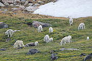 Herd of mountain goats during summer in the Beartooth Mountains of Wyoming