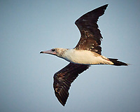 Brown Booby in flight. Image taken with a Nikon N1V3 camera and 70-300 mm VR lens (ISO 640, 99 mm, f/5.6, 1/2000 sec).