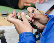 Myrtle Warbler (Setophaga coronata coronata) being banded, Acadia National Park, Maine