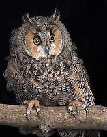 Long Eared Owl, (Asio otus), captive