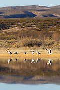 Seven sandhill cranes (Grus canadensis) take off from a pond in the Bosque del Apache National Wildlife Reserve in New Mexico.