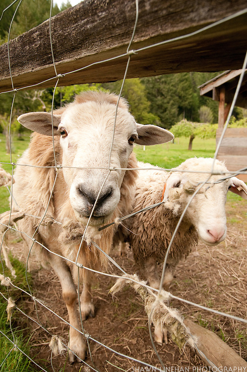 The two rams at Leaping Lamb Farm.