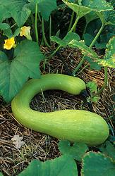 Courgette 'Tromboncino' - zucchini, Cucurbita