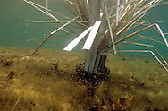 Largemouth Bass fry around a Fish Hiding Structure.<br /> <br /> ENGBRETSON UNDERWATER PHOTO