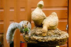 Ecclesfield Squirrel<br /> <br />  Copyright Paul David Drabble<br />  29 September 2019<br />  www.pauldaviddrabble.co.uk A Grey Squirrel (Scientific name Sciurus Carolinensison) Sits and drinks from Bird feeder in a British Suburban Garden