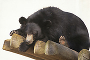 Asian black bear (Ursus thibetanus), also known as the Asiatic black bear, moon bear and white-chested bear, is a medium-sized bear species native to Asia that is largely adapted to an arboreal lifestyle in Captivity