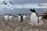 Adult Gentoo Penguins (Pygoscelis papua) in Neko Harbor, Andvord Bay.
