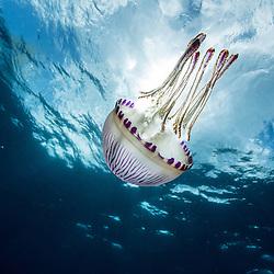 méduse, jellyfish, pelagia noctiluca