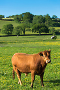 Brown bull - possibly South Devon breed - in buttercup meadow pasture in Devon, England, UK