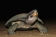 Giant River Turtle (Podocnemis expansa) after laying. <br /> REARING PROGRAM FOR REINTRODUCTION TO THE WILD<br /> CITES II      IUCN ENDANGERED (EN)<br /> La Playita Beach, Orinoco River, 110 Km north of Puerto Ayacucho. Apure Province, VENEZUELA. South America. <br /> L average 90cm, Wgt 30-45kg. Largest fresh water river turtle in South America. Eggs round & 42mm. 90-100 per clutch. 6-8 weeks incubation. Females come ashore to sun themselves for several days before laying to boost egg development.  They lay when the river is at its lowest. They are Herbacious and live in white or black water rivers moving into flooded forests of the Amazon during the wet season to feed on fallen seeds and fruit.<br /> RANGE: Amazonia, Llanos & Orinoco of Colombia, Venezuela, Brazil, Guianas, Ecuador, Peru & Bolivia.<br /> Project from Base Camp of the Protected area of the Giant River Turtle (& Podocnemis unifilis). (Refugio de Fauna Silvestre, Zona Protectora de Tortuga Arrau, RFSZPTA)<br /> Ministery of Environment Camp which works in conjuction with the National Guard (Guardia Nacional) who help enforce wildlife laws and offer security to camp staff. From here the ministery co-ordinate with other local communities along the river to hand-rear turtles for the first year of their life and then release them. The ministery pays a salary to one person in each community that participates in the project as well as providing all food etc. The turtles are protected by law and there is also a ban on the use of fishing nets in the general area. During the egg laying season staff sleep on the nesting beaches to monitor the nests.  All nests layed on low lying ground are dug up and relocated to an area not likely to flood. They are then surrounded by a net to catch all hatchlings who will then spend the first year of their life in captivity to increase their chances of survival. Biometric data is taken from any female they find that has layed eggs and is returning to the river.