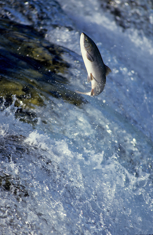 Alaska. Katmai National Park. Salmon leaping up falls to spawning grounds.