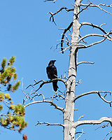 Common Raven (Corvus corax). Yellowstone Falls. Yellowstone National Park, Wyoming. Image taken with a Nikon D200 camera and 80-400 mm VR lens.