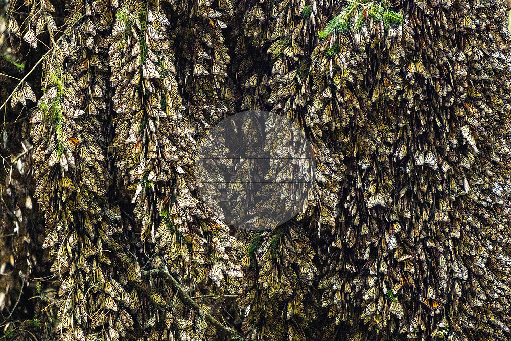 Monarch butterflies mass together to stay warm on a chilly day in their over-winter site in the El Rosario Monarch Butterfly Preserve near Ocampo, Michoacan, Mexico. The monarch butterfly migration is a phenomenon across North America, where the butterflies migrates each autumn to overwintering sites in Central Mexico.