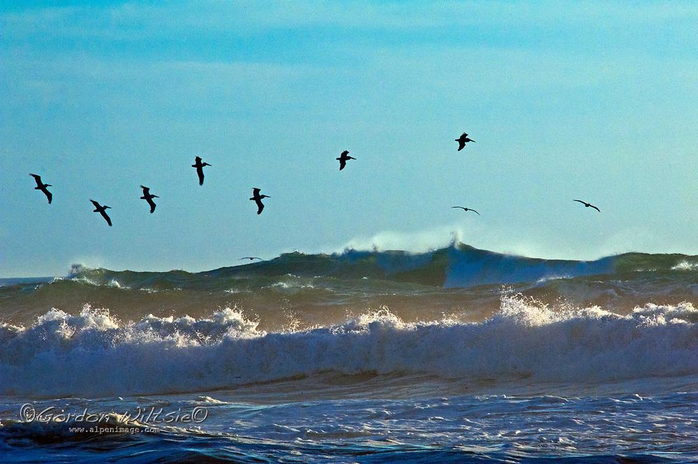 Pelicans soar above surf waves crashing onto the California coast near Half Moon Bay.
