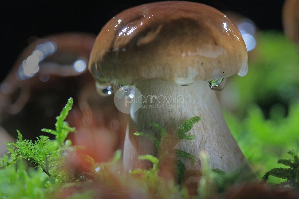 Boletus edulis ©Daniel Acevedo / PILAR REVILLA