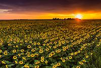 Sunflower fields, near Goodland, Western Kansas USA.