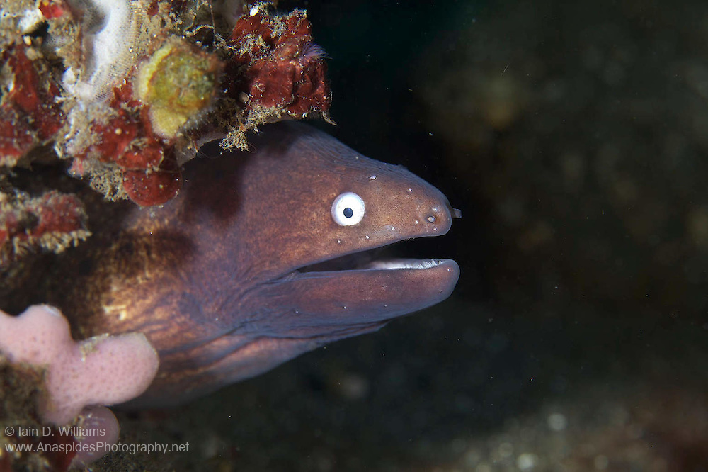 White-eyed moray eels are relatively common in Indonesia and feed on small fish and crustaceans.  They can be found inhabiting an assortment of habitats from rubble to reef