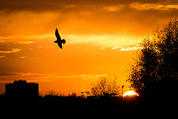 © Licensed to London News Pictures . 21/11/2013 . Manchester , UK . A single bird silhouetted against a fiery orange sunset over the River Irwell on the border between the two cities of Salford and Manchester , this evening ( Thursday 21st November 2013 ) .  Photo credit : Joel Goodman/LNP