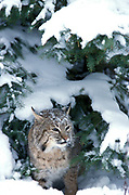 Bobcat, Lynx rufus, female, in snow under conifer tree, winter, Minnesota, USA, controlled situation