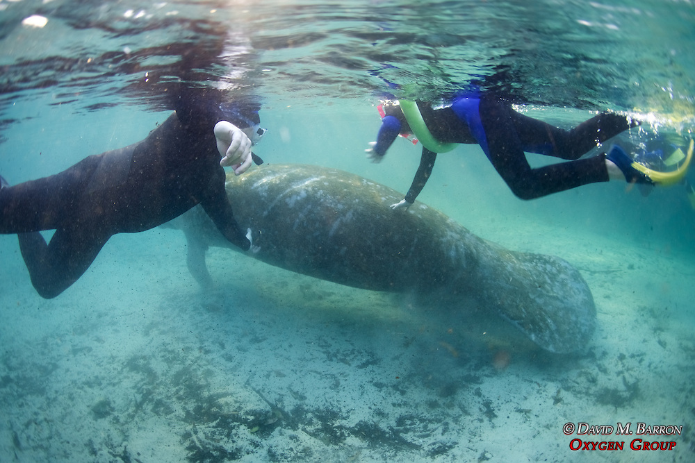 People Touching Manatee At Three Sisters Spring