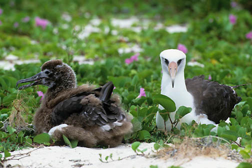 Layson Albatross, (Diomedea immutabilis) Adult and chick nesting on Midway Island. Hawaii.