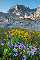 Field of wildflowers composed of purple Asters and yellow Arnica in Indian Basin, Fremont Peak is in the distance, Bridger Wilderness, Wind River Range wyoming