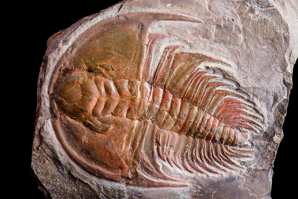 This is a beautifully conserved and aesthetic specimen of Mesonacis fremonti (sagittal length: 74mm), also known as Olenellus fremonti, from the Lower Cambrian Latham Shale of California.