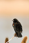 A red-winged blackbird (Agelaius phoeniceus) perched on cattails in the Ridgefield National Wildlife Refuge, Washington