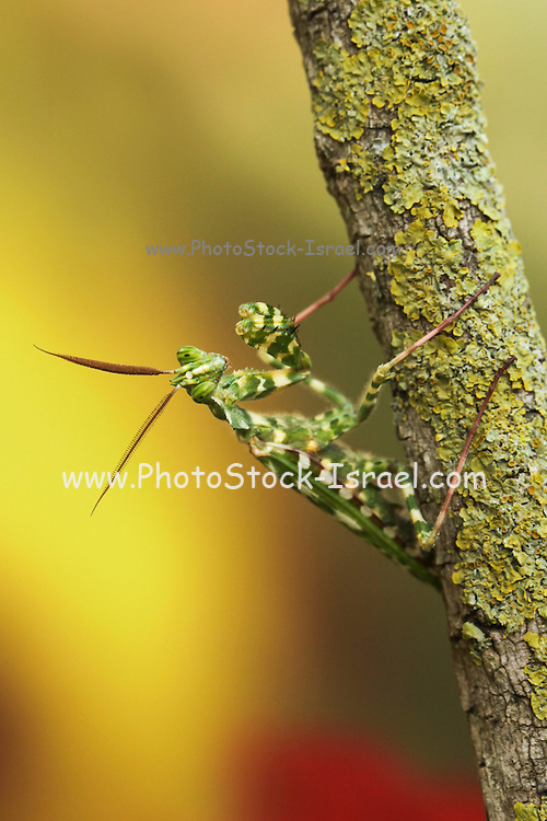 African mantis (Blepharopsis mendica) as seen camouflaged on a twig. This mantis has undeveloped wings and relies on body colours and its shape for camouflage, rather than flight to escape predators or to trap prey. Its behaviour is to move slowly and carefully and so not be detected, or to remain quite still. The imitation of plants by animals is called phytomimesis. Blepharopsis mendica is otherwise known as the African mantis or Arab Mantis. Photographed in Israel