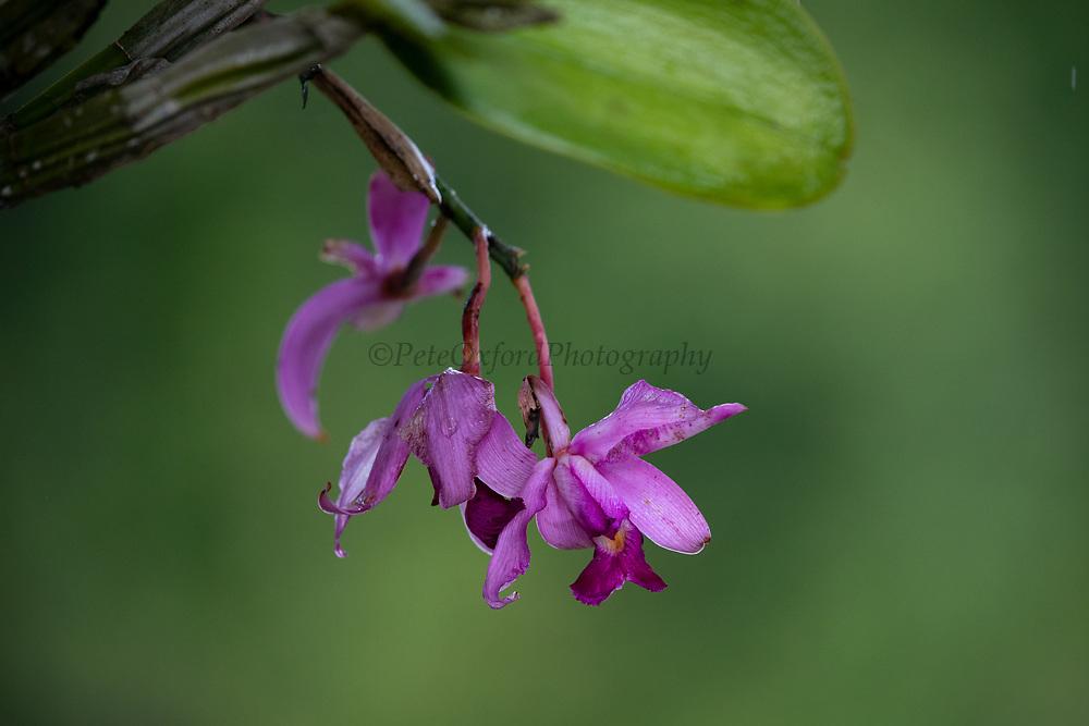 Violet Cattleya Orchid (Cattleya violacea)<br /> Rewa<br /> Rainforest<br /> Guyana<br /> South America