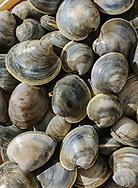 Clams caught in Hallock's Bay, Orient, New York