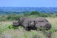 Black rhinoceros with calf, highly endangered [Secret location] © David A. Ponton