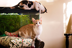 Rescued stray feral kittens playing, climbing over furniture and sitting on top of a fish tank in their adopted home, England, United Kingdom.