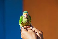 Close-up of Blue-crowned parakeet (Tanygnathus lucionensis) perching on hand, Costa Rica