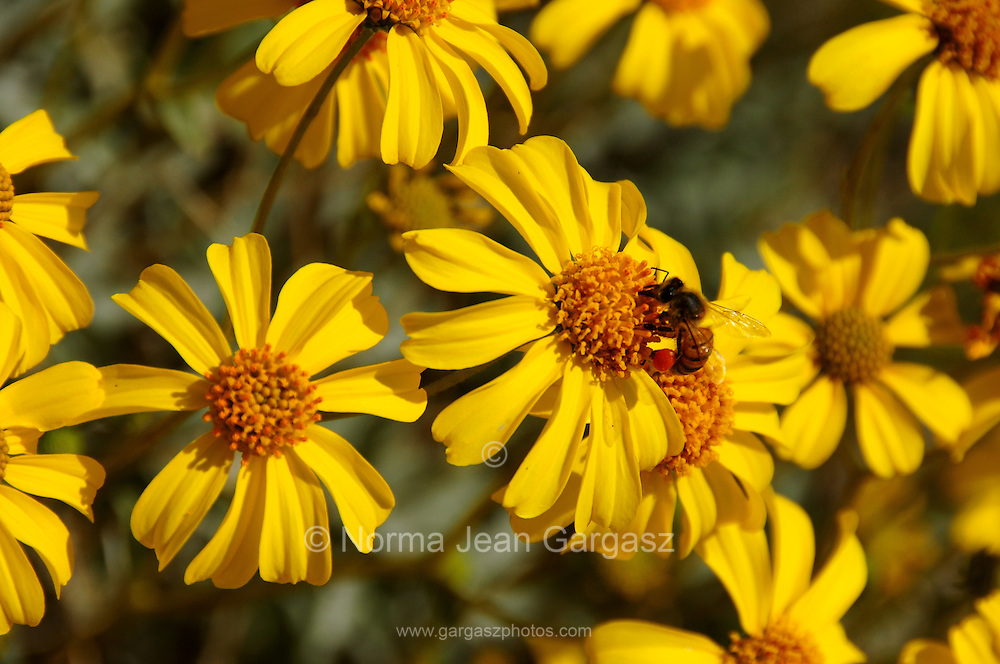 A honeybee sits on brittlebush, (Encelia farinosa), growing in the Sonoran Desert along the Starr Pass Trail in Tucson Mountain Park in the Tucson Mountains, west of Tucson, Arizona, USA.