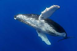 humpback whale, Megaptera novaeangliae, note parasitic acorn barnacles under chin, Cornula diaderma, Hawaii, Pacific Ocean