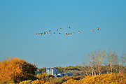 Canada geese and grain bins in autumn<br />