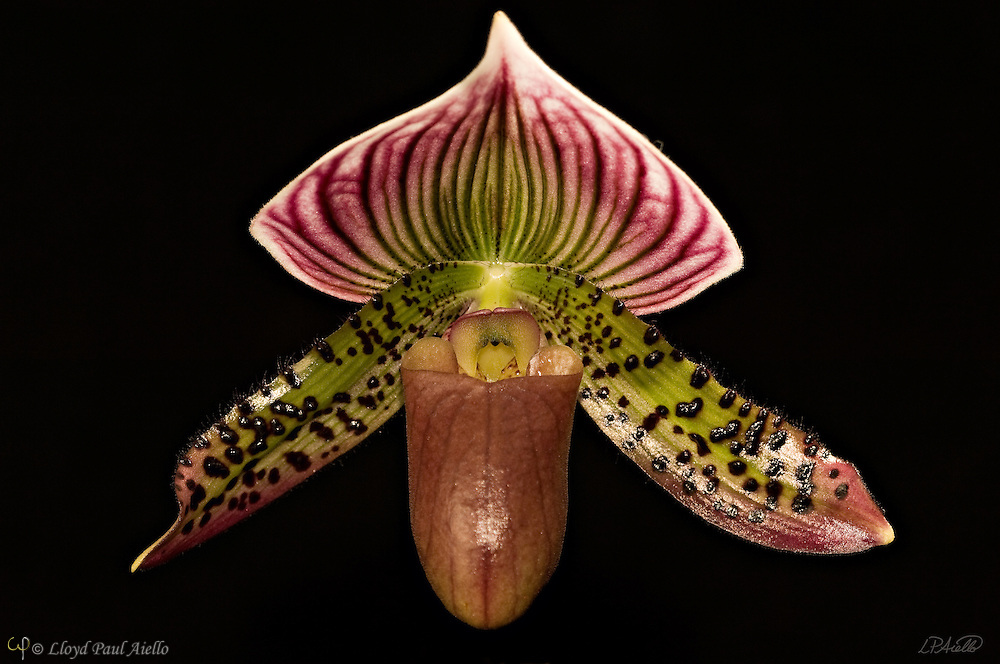 A paphiopedilum orchid grown and bloomed by the photographer.