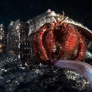 This is a large Mauve-eyed hermit crab (Dardanus crassimanus) consuming a red cornetfish (Fistularia petimba).