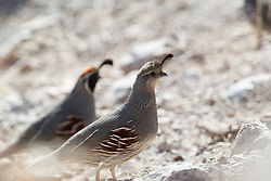 Gambel's quail on ground, Ladder Ranch, west of Truth or Consequences, New Mexico, USA.