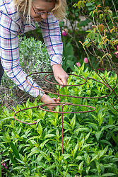 Staking a perennial phlox with a metal hoop plant support in spring