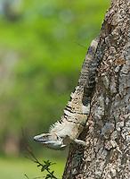 Black spiny-tailed iguana, Ctenosaura similis, in a tree on the shore of the Tarcoles River, Costa Rica