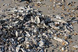 Japanse oester, Crassostrea gigas