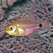 Orangelined Cardinalfish inhabit reefs. Picture taken Triton Bay, West Papua, Indonesia.