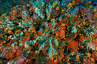 Deep rocky seamount at 30 m depth, covered in rich, colorful invertebrate life including anemones, sponges and corals.  <br /><br />Coiba Island<br />Coiba National Park<br />Panama<br /><br />Bajo Veinte dive site