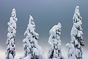 Four trees stand covered in heavy snow on Sourdough Ridge, North Cascades National Park, Washington.