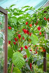 Chilli pepper 'Naga Viper' growing in a greenhouse