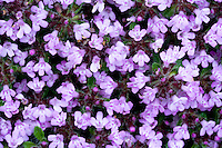 Wooly Thyme (Thymus lanuginosus) blooming in a thick mat closeup